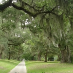 live oak tree canopies over walkway